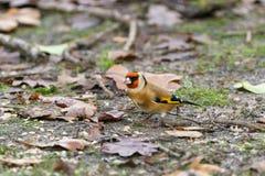 Ευρωπαϊκά carduelis Goldfinch Carduelis στοκ φωτογραφία