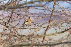 Ευρωπαϊκά carduelis Goldfinch Carduelis στοκ εικόνες με δικαίωμα ελεύθερης χρήσης