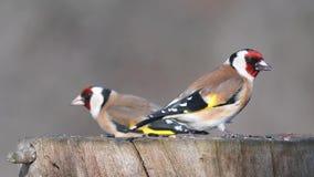 Ευρωπαϊκά carduelis carduelis Goldfinch στον τροφοδότη χειμερινών πουλιών φιλμ μικρού μήκους