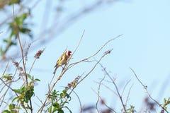 Ευρωπαϊκά carduelis Goldfinch Carduelis στοκ εικόνα με δικαίωμα ελεύθερης χρήσης