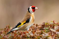 Ευρωπαϊκά carduelis Carduelis goldfinch στοκ εικόνες