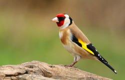 Ευρωπαϊκά carduelis Carduelis goldfinch στοκ φωτογραφίες