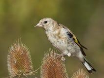 Ευρωπαϊκά carduelis Carduelis goldfinch Στοκ Φωτογραφία