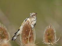 Ευρωπαϊκά carduelis Carduelis goldfinch Στοκ Εικόνα
