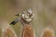 Ευρωπαϊκά carduelis Carduelis goldfinch Στοκ φωτογραφίες με δικαίωμα ελεύθερης χρήσης