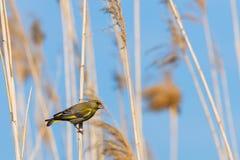 Ευρωπαϊκά chloris Greenfinch ή Carduelis που σκαρφαλώνουν σε έναν κλάδο στοκ εικόνα με δικαίωμα ελεύθερης χρήσης