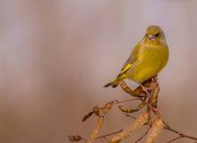 Ευρωπαϊκά chloris Greenfinch - Carduelis - αρσενικό Στοκ Φωτογραφίες