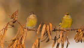 Ευρωπαϊκά chloris Greenfinch - Carduelis - ζευγάρι Στοκ φωτογραφίες με δικαίωμα ελεύθερης χρήσης