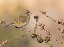 Ευρωπαϊκά chloris Greenfinch - Carduelis Στοκ Φωτογραφίες