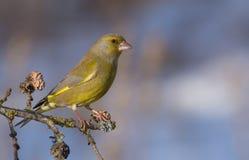 Ευρωπαϊκά chloris Greenfinch - Carduelis Στοκ φωτογραφίες με δικαίωμα ελεύθερης χρήσης