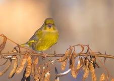 Ευρωπαϊκά chloris Greenfinch - Carduelis - msle Στοκ Φωτογραφία