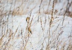 Ευρωπαϊκά goldfinches (carduelis) που κάθονται στις ξηρές εγκαταστάσεις στον τομέα το χειμώνα στοκ φωτογραφία με δικαίωμα ελεύθερης χρήσης