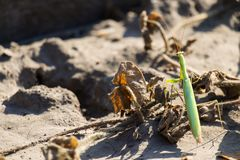 ευρωπαϊκά mantis mantis ανασκόπησης που προσεύχονται το λευκό στοκ εικόνες