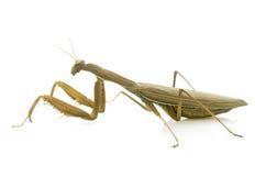 Ευρωπαϊκά mantis στο στούντιο στοκ εικόνες με δικαίωμα ελεύθερης χρήσης