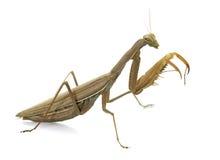 Ευρωπαϊκά mantis στο στούντιο στοκ εικόνα