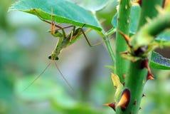 ευρωπαϊκά mantis Στοκ Εικόνες