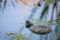 Ευρωπαϊκά orbicularis χελωνών ή Emys λιμνών στο νερό στοκ φωτογραφίες με δικαίωμα ελεύθερης χρήσης