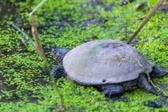 Ευρωπαϊκά orbicularis χελωνών ή Emys λιμνών στο νερό στοκ φωτογραφία με δικαίωμα ελεύθερης χρήσης
