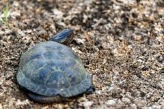 Ευρωπαϊκά orbicularis χελωνών ή Emys λιμνών στοκ φωτογραφία με δικαίωμα ελεύθερης χρήσης
