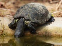 Ευρωπαϊκά orbicularis Emys χελωνών λιμνών στοκ φωτογραφίες με δικαίωμα ελεύθερης χρήσης