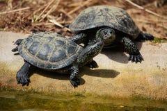 Ευρωπαϊκά orbicularis Emys χελωνών λιμνών στοκ εικόνες