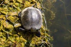 Ευρωπαϊκά orbicularis Emys χελωνών λιμνών στοκ εικόνα με δικαίωμα ελεύθερης χρήσης