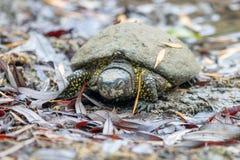 Ευρωπαϊκά orbicularis Emys χελωνών λιμνών sleapy μετά από τη διαχείμαση, πρώιμο ελατήριο στοκ εικόνες