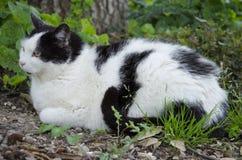 ευρωπαϊκές εικόνες σχεδίου γατών σας Στοκ Φωτογραφίες