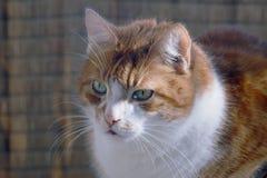 ευρωπαϊκές εικόνες σχεδίου γατών σας Στοκ Εικόνες
