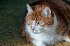 ευρωπαϊκές εικόνες σχεδίου γατών σας Στοκ Φωτογραφία