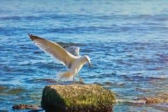 ευρωπαϊκές ρέγγες γλάρων Στοκ Εικόνες