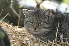 Ευρωπαϊκή άγρια γάτα ή δασική γάτα Στοκ εικόνα με δικαίωμα ελεύθερης χρήσης