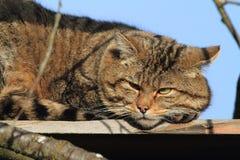 Ευρωπαϊκή άγρια γάτα ή δασική γάτα Στοκ Φωτογραφίες