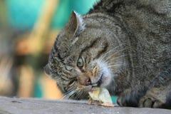 Ευρωπαϊκή άγρια γάτα ή δασική γάτα Στοκ φωτογραφίες με δικαίωμα ελεύθερης χρήσης