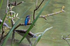 Ευρωπαϊκή αλκυόνη που σκαρφαλώνει στον κλάδο, ποταμός Τάμεσης, UK στοκ εικόνα με δικαίωμα ελεύθερης χρήσης