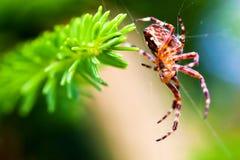 Ευρωπαϊκή αράχνη κήπων αποκαλούμενη διαγώνια αράχνη Είδη diadematus Araneus Στοκ εικόνα με δικαίωμα ελεύθερης χρήσης