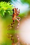 Ευρωπαϊκή αράχνη κήπων αποκαλούμενη διαγώνια αράχνη Είδη diadematus Araneus Στοκ Φωτογραφίες