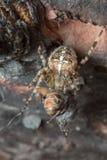 Ευρωπαϊκή αράχνη κήπων, σίτιση diadematus Araneus στο έντομο Στοκ εικόνα με δικαίωμα ελεύθερης χρήσης