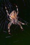 ευρωπαϊκή αράχνη κήπων Στοκ Φωτογραφίες