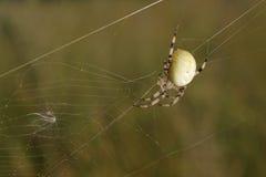 ευρωπαϊκή αράχνη κήπων στοκ εικόνα