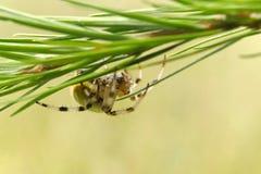 Ευρωπαϊκή αράχνη κήπων στοκ φωτογραφία με δικαίωμα ελεύθερης χρήσης