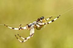Ευρωπαϊκή αράχνη κήπων στοκ εικόνες με δικαίωμα ελεύθερης χρήσης