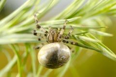 Ευρωπαϊκή αράχνη κήπων στοκ φωτογραφία