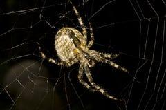ευρωπαϊκή αράχνη κήπων diademata araneus Στοκ Εικόνα