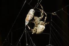 ευρωπαϊκή αράχνη κήπων diademata araneus Στοκ εικόνες με δικαίωμα ελεύθερης χρήσης