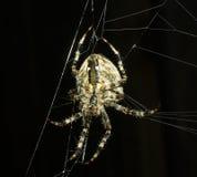 ευρωπαϊκή αράχνη κήπων diademata araneus Στοκ φωτογραφία με δικαίωμα ελεύθερης χρήσης