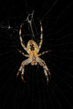 ευρωπαϊκή αράχνη κήπων diadematus araneus Στοκ εικόνες με δικαίωμα ελεύθερης χρήσης