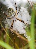Ευρωπαϊκή αράχνη σφηκών, bruennichi Argiope στον Ιστό, βιότοπος Στοκ Φωτογραφίες