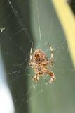 Ευρωπαϊκή αράχνη Στοκ εικόνες με δικαίωμα ελεύθερης χρήσης