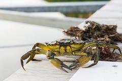 Ευρωπαϊκή αλιεία καβουριών ακτών που απελευθερώνεται Στοκ Εικόνες